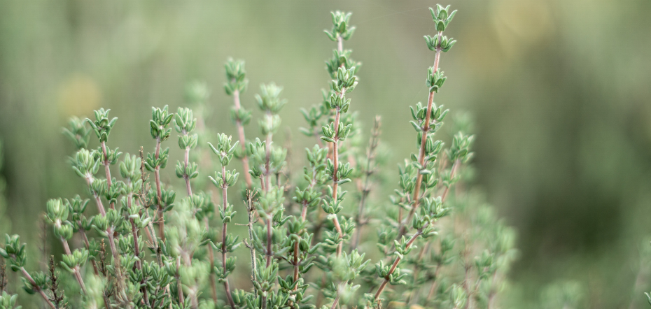 Thyme Sprigs Up Close