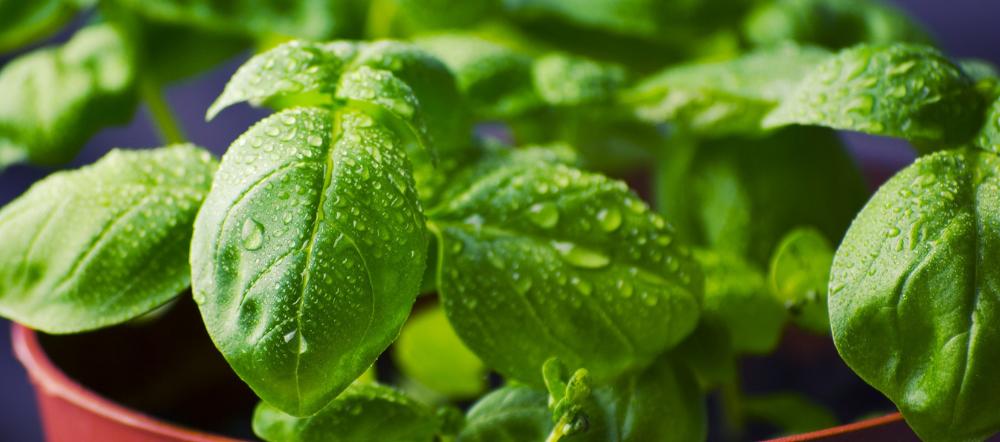 Water Leaflets on a Basil Leaf