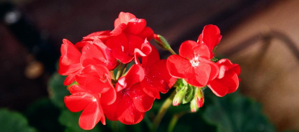 Red Geranium Blooms