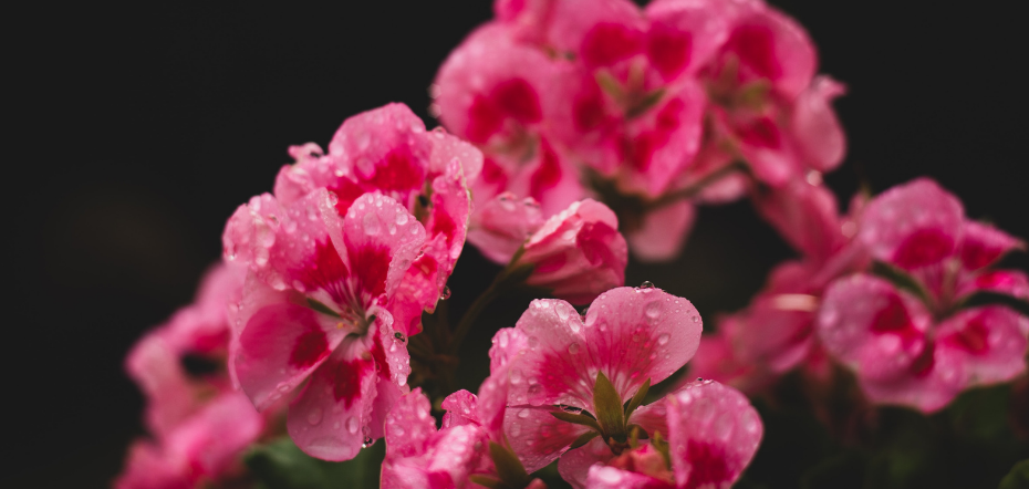 Water Droplets on Pink Geranium Plants